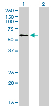 Western Blot analysis of TRAF6 expression in transfected 293T cell line by TRAF6 monoclonal antibody (M02), clone 1B2.Lane 1: TRAF6 transfected lysate(59.6 KDa).Lane 2: Non-transfected lysate.