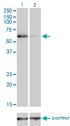 Western blot analysis of TRAF6 over-expressed 293 cell line, cotransfected with TRAF6 Validated Chimera RNAi (Lane 2) or non-transfected control (Lane 1). Blot probed with TRAF6 monoclonal antibody (M02), clone 1B2 . GAPDH ( 36.1 kDa ) used as specificity and loading control.