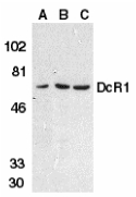 TRAIL-R3 / DCR1 Antibody - Western blot of DcR1 in HeLa cell (A), mouse (B) and rat (C) liver tissue lysates with DcR1 antibody at 1 ug/ml.