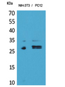 TRAIL-R3 / DCR1 Antibody - Western Blot analysis of extracts from NIH-3T3, PC12 cells using TNFRSF10C Antibody.