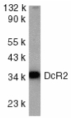 TRAIL-R4 / DCR2 Antibody - Western blot of DcR2 in HeLa whole cell lysate with DcR2 antibody at 1:1000 dilution.