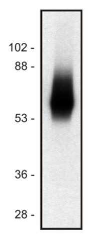 Western blot of human Jurkat T cell line lysate (1% laurylmaltoside); non-reduced sample, immunostained by  mAb TRIM-04 and goat anti-mouse IgG (H+L)-HRP conjugate.