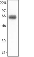 TREM1 Antibody - Recombinant human TREM-1 Fc protein (20 ng per lane) was resolved by electrophoresis, transferred to nitrocellulose, and probed monoclonal antibody against TREM-1 (clone TREM-26). Proteins were visualized using a goat anti-mouse secondary conjugated to HR