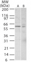 Western blot of TRF1 in 20 ugs of A) Jurkat and B) 293 cell lysate using antibody at 7 ug/ml.