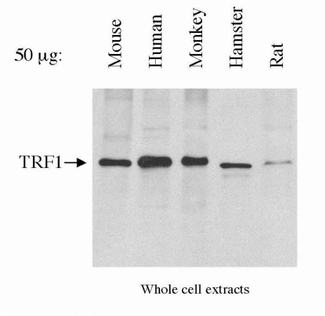 Detection of TRF1 in HeLa whole cell extracts.  This image was taken for the unconjugated form of this product. Other forms have not been tested.