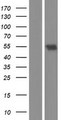 TRF1 / TERF1 Protein - Western validation with an anti-DDK antibody * L: Control HEK293 lysate R: Over-expression lysate