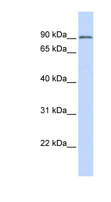 TRIM28 antibody LS-C109592 Western blot of MCF7 cell lysate.  This image was taken for the unconjugated form of this product. Other forms have not been tested.
