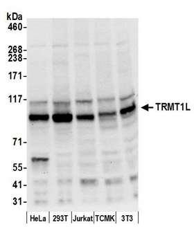 TRMT1L Antibody - Detection of human and mouse TRMT1L by western blot. Samples: Whole cell lysate (50 µg) from HeLa, HEK293T, Jurkat, mouse TCMK-1, and mouse NIH 3T3 cells prepared using NETN lysis buffer. Antibody: Affinity purified rabbit anti-TRMT1L antibody used for WB at 0.4 µg/ml. Detection: Chemiluminescence with an exposure time of 10 seconds.