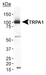 TRPA1 Antibody - Detection of TRPA1 in human brain membrane fraction using antibody at 2 ug/ml.  This image was taken for the unconjugated form of this product. Other forms have not been tested.