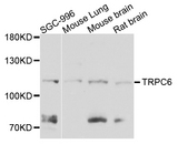 Western blot analysis of extract of various cells.