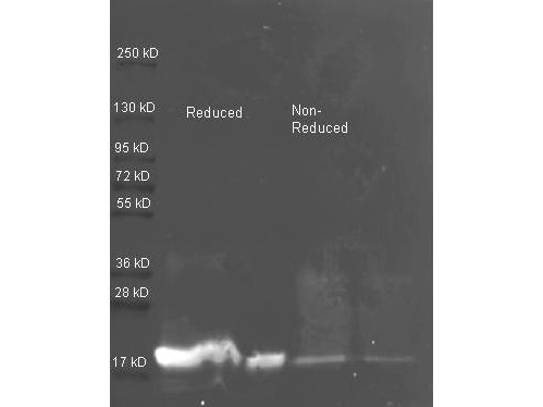 Trypsin Inhibitor Antibody - Western Blot of rabbit anti-Soybean Trypsin Inhibitor antibody. Lane 1: ~1 ug of purified Soybean Trypsin Inhibitor Reduced. Lane 2: 0.25 ug of purified Soybean Trypsin Inhibitor Reduced. Lane 3: ~1 ug of purified Soybean Trypsin Inhibitor Non-reduced. Lane 4: 0.25 ug of purified Soybean Trypsin Inhibitor Non-reduced. Primary antibody: Soybean Trypsin Inhibitor antibody at 1:5000 for overnight at 4°C. Secondary antibody: Dylight 488 conjugated Streptavidin , 1:5K and Atto 425 conjugated goat anti rabbit, 1:10K at 1.5 hr at RT. Block: MB-070 overnight at 4°C. Predicted/Observed size: 24 kDa, 17 kDa for Trypsin. Other band(s): none.