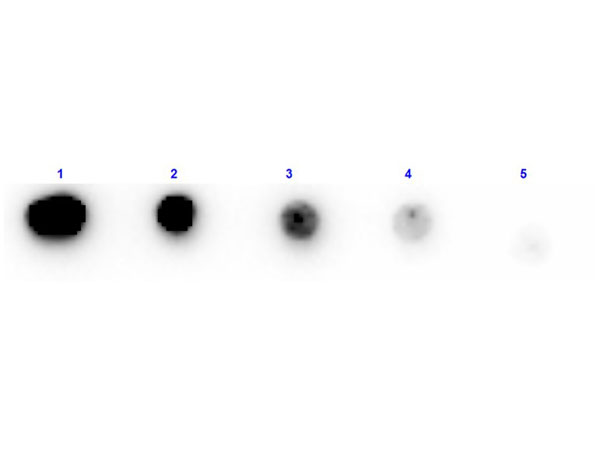 Trypsin Inhibitor Antibody - Dot Blot results of rabbit Anti-Trypsin Inhibitor Antibody Biotin Conjugated. Dots are Trypsin Inhibitor at (1) 100ng, (2) 33.3ng, (3) 11.1ng, (4) 3.70ng, (5) 1.23ng. Blocking: MB-070 for 30 min at RT. Primary Antibody: Rabbit Anti-Trypsin Inhibitor Antibody Biotin at 1µg/mL for 1hr at RT. Secondary Antibody: Streptavidin-HRP at 1:40,000 for 30min at RT. Imaged with BioRad ChemiDoc, Chemi filter.