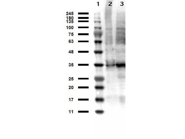 TS / Thymidylate Synthase Antibody - Western Blot results of Sheep anti-Thymidylate Synthase Antibody. Lane 1: Opal Prestained Molecular Weight Ladder Lane 2: HeLa WCL Lane 3: MOLT-4 WCL Load: 10µg. Primary Antibody: Sheep anti-Thymidylate Synthase at 1µg/mL overnight at 4°C. Secondary Antibody: Donkey anti-Sheep HRP at 1:40,000 for 30min at RT. Blocking: BlockOut for 30 min at RT.