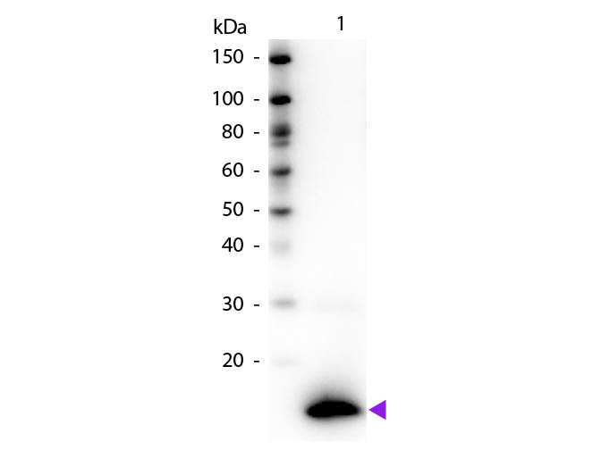 Western blot of Biotin conjugated Rabbit Anti-TSLP primary antibody. Lane 1: Human TSLP. Lane 2: None. Load: 50 ng per lane. Primary antibody: TSLP Biotin conjugated antibody at 1:1,000 for 60 min at RT. Secondary antibody: Peroxidase streptavidin secondary antibody at 1:40,000 for 30 min at RT. Blocking: MB-070 for 30 min at RT. Observed/Predicted size: 13 kDa, 13 kDa for Human TSLP. Other band(s): None. This image was taken for the unconjugated form of this product. Other forms have not been tested.
