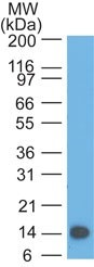 Western Blot: TSLP Antibody (55N1E3) - Analysis of TSLP partial recombinant protein (amino acids 27-158) using TSLP antibody at 0.5 ug/ml.  This image was taken for the unconjugated form of this product. Other forms have not been tested.