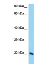 TSN / Translin antibody Western blot of 293T Cell lysate. Antibody concentration 1 ug/ml.  This image was taken for the unconjugated form of this product. Other forms have not been tested.