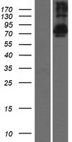 TSNAXIP1 Protein - Western validation with an anti-DDK antibody * L: Control HEK293 lysate R: Over-expression lysate