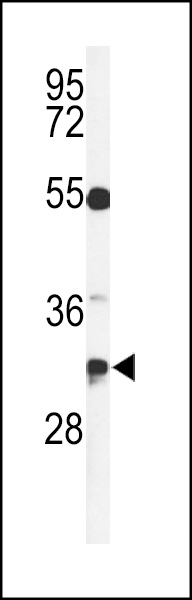 Western blot of TSPAN7 Antibody in CEM cell line lysates (35 ug/lane). TSPAN7 (arrow) was detected using the purified antibody.