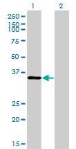 Western Blot analysis of TSTA3 expression in transfected 293T cell line by TSTA3 monoclonal antibody (M01), clone 2B9.Lane 1: TSTA3 transfected lysate(35.9 KDa).Lane 2: Non-transfected lysate.