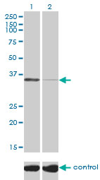 Western blot analysis of TSTA3 over-expressed 293 cell line, cotransfected with TSTA3 Validated Chimera RNAi (Lane 2) or non-transfected control (Lane 1). Blot probed with TSTA3 monoclonal antibody (M01), clone 2B9 . GAPDH ( 36.1 kDa ) used as specificity and loading control.