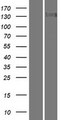 TTBK2 Protein - Western validation with an anti-DDK antibody * L: Control HEK293 lysate R: Over-expression lysate