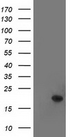 TTC32 Antibody - HEK293T cells were transfected with the pCMV6-ENTRY control (Left lane) or pCMV6-ENTRY TTC32 (Right lane) cDNA for 48 hrs and lysed. Equivalent amounts of cell lysates (5 ug per lane) were separated by SDS-PAGE and immunoblotted with anti-TTC32.