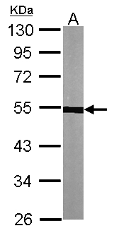 Sample (30 ug of whole cell lysate). A: NIH-3T3. 10% SDS PAGE. TUBA1A / Tubulin Alpha 1a antibody diluted at 1:1000.