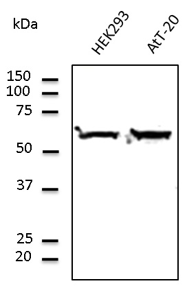 Western blot. Anti-Tubulin alpha4A antibody at 1:1000 dilution. Lysates at 100 ug per lane. Rabbit polyclonal to goat IgG (HRP) at 1:10000 dilution.