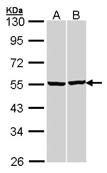 Sample (30 ug of whole cell lysate). A:293T, B: H1299. 10% SDS PAGE. TUBB / Beta Tubulin antibody diluted at 1:3000.