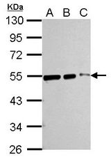 Sample (whole cell lysate). A:293T 20 ug, B:293T 10 ug, C:293T 5 ug. 10% SDS PAGE. TUBB / Beta Tubulin antibody diluted at 1:10000.