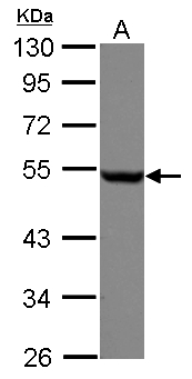 Sample (30 ug of whole cell lysate) A: A549 10% SDS PAGE TUBB / Beta Tubulin antibody diluted at 1:1000