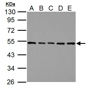Sample (30 ug of whole cell lysate) A: NIH-3T3 B: JC C: BCL-1 D: C2C12 E: Raw264.7 10% SDS PAGE TUBB / Beta Tubulin antibody diluted at 1:1000