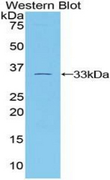 Western blot of recombinant TUBB1 / Tubulin Beta 1.  This image was taken for the unconjugated form of this product. Other forms have not been tested.