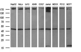 Western blot of extracts (35ug) from 9 different cell lines by using anti-TUBB1 monoclonal antibody (HepG2: human; HeLa: human; SVT2: mouse; A549: human; COS7: monkey; Jurkat: human; MDCK: canine; PC12: rat; MCF7: human).