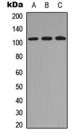TUBGCP2 / GCP2 Antibody - Western blot analysis of GCP2 expression in HEK293T (A); Raw264.7 (B); PC12 (C) whole cell lysates.
