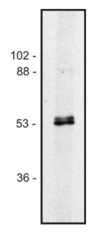 Tubulin Alpha/Beta Antibody - Western blot of human Jurkat T cell line lysate (1% laurylmaltoside); non-reduced sample, immunostained by mAb TU-10 and goat anti-mouse IgG (H+L)-HRP.