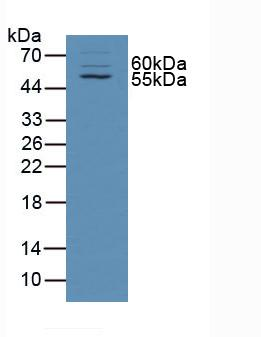 Western Blot; Sample: Rat Skin Tissue.