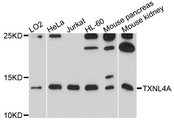 Western blot analysis of extracts of various cell lines, using TXNL4A antibody at 1:1000 dilution. The secondary antibody used was an HRP Goat Anti-Rabbit IgG (H+L) at 1:10000 dilution. Lysates were loaded 25ug per lane and 3% nonfat dry milk in TBST was used for blocking. An ECL Kit was used for detection and the exposure time was 90s.