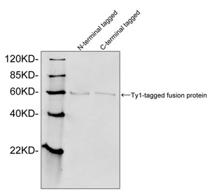Ty1 Tag Antibody - Western blot of Ty1 tagged fusion proteins expressed in E. coli cell lysate using Ty1-tag Antibody (1 ug/ml). The signal was developed with IRDye 800 Conjugated Goat Anti-Rabbit IgG.