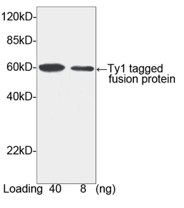 Ty1 Tag Antibody - Western blot of Ty1 tagged fusion protein using Ty1-tag Antibody, pAb, Rabbit (1 ug/ml). The signal was developed with Goat Anti-Rabbit IgG (H&L) [HRP] Polyclonal Antibody. Predicted Size: 60 kD. Observed Size: 60 kD.