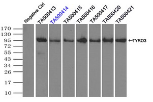 Immunoprecipitation(IP) of TYRO3 by using monoclonal anti-TYRO3 antibodies (Negative control: IP without adding anti-TYRO3 antibody.). For each experiment, 500ul of DDK tagged TYRO3 overexpression lysates (at 1:5 dilution with HEK293T lysate), 2 ug of anti-TYRO3 antibody and 20ul (0.1 mg) of goat anti-mouse conjugated magnetic beads were mixed and incubated overnight. After extensive wash to remove any non-specific binding, the immuno-precipitated products were analyzed with rabbit anti-DDK polyclonal antibody.