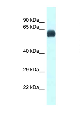 UAP1 antibody LS-C145696 Western blot of Small Intestine lysate. Antibody concentration 1 ug/ml.  This image was taken for the unconjugated form of this product. Other forms have not been tested.