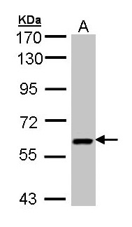 UAP1 Antibody - Sample (30 ug of whole cell lysate). A: H1299. 7.5% SDS PAGE. UAP1 antibody diluted at 1:3000