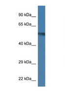 UAP1 Antibody - UAP1 antibody Western blot of Mouse Brain lysate. Antibody concentration 1 ug/ml. This image was taken for the unconjugated form of this product. Other forms have not been tested.