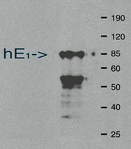 WB: Mouse anti-Ubiquitin Activating Enzyme E1 (UBIQUITIN ACT ENZ E1, MSX-100UG) Western blot of bacterially expressed human E1. The lower band is an E1 degradation product which is sometimes noted.