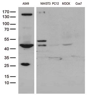 UBA3 / UBE1C Antibody - Western blot analysis of extracts. (35ug) from different 5 cell lines by using anti-UBA3 monoclonal antibody. (1:500)