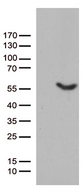 UBA3 / UBE1C Antibody - HEK293T cells were transfected with the pCMV6-ENTRY control. (Left lane) or pCMV6-ENTRY UBA3. (Right lane) cDNA for 48 hrs and lysed. Equivalent amounts of cell lysates. (5 ug per lane) were separated by SDS-PAGE and immunoblotted with anti-UBA3. (1:500)