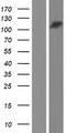 UBAP2 Protein - Western validation with an anti-DDK antibody * L: Control HEK293 lysate R: Over-expression lysate