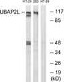 Western blot analysis of lysates from HT-29 and 293 cells, using UBAP2L Antibody. The lane on the right is blocked with the synthesized peptide.