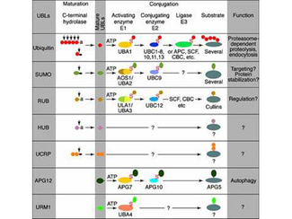"""UBC6 / UBE2J2 Antibody - Most modifiers mature by proteolytic processing from inactive precursors (""""a"""" = amino acid). Arrowheads point to the cleavage sites. Ubiquitin is expressed either as polyubiquitin or as a fusion with ribosomal proteins. Conjugation requires activating (E1) and conjugating (E2) enzymes that form thioesters (S) with the modifiers. Modification of cullins by RUB involves SCF(SKP1/cullin-1/F-box protein)/CBC(cullin-2/elonginB/elonginC)-like E3 enzymes that are also involved in ubiquitination. In contrast to ubiquitin, the UBLs do not seem to form multi-UBL chains. UCRP(ISG15) resembles two ubiquitin moieties linked head-to-tail. Whether HUB1 functions as a modifier is currently unclear. APG12 and URM1 are distinct from the other modifiers because they are unrelated in sequence to ubiquitin."""